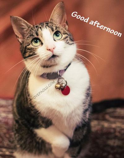 cute cat goodafternoon image