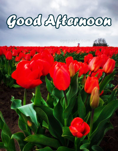 tulip festival goodafternoon images
