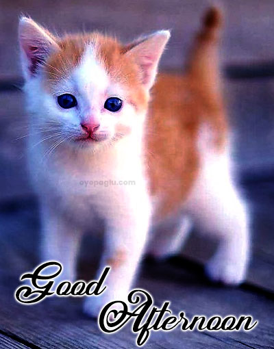 cat good afternoon wishes