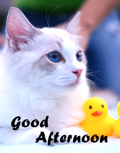cute white cat good afternoon wishes